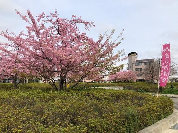 『淀の河津桜』